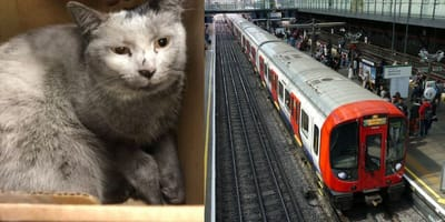 Cat found on train track