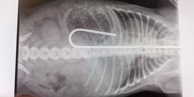 radiografia bulldog