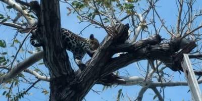 rescatan a jaguar de un arbol en cancun