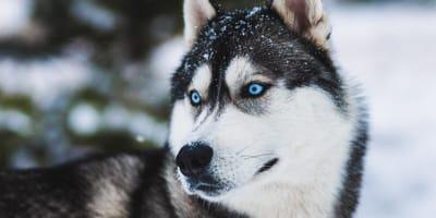 Husky mit blauen Augen