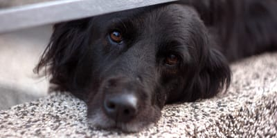 Trauriger Labrador