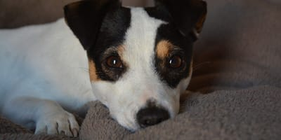 tricolour jack russell on couch