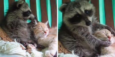 mapache abraza gato