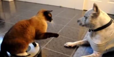 Katze auf dem Saugroboter greift Pitbull an