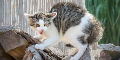 gato chillando nervioso