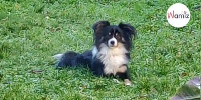 Pies_owczarek _australijski