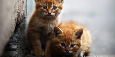 ventajas de esterilizar a los gatos