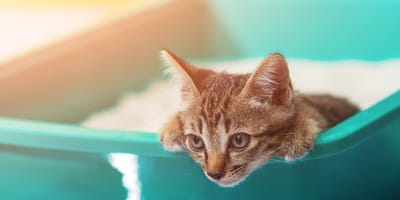 Cómo enseñarle a un gato a hacer pipí en el arenero