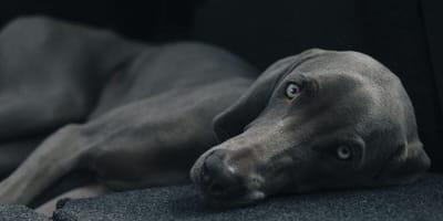 A Weimaraner dog lies against black background
