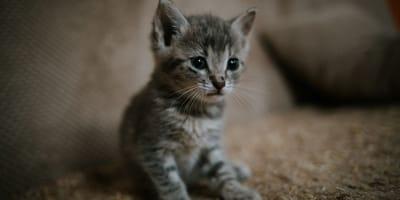 Kätzchen als Träger des Corona-Virus?