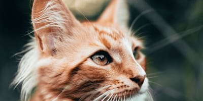 primo piano di gatto