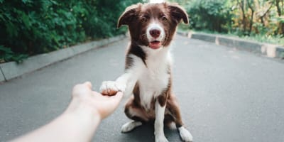 How to teach your dog to give a paw and shake your hand
