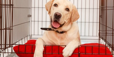 Become an expert! Learn about crate training a dog!