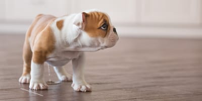 Puppy toilet training: Everything there is to know