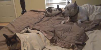 pitbull-coniglio-e-gatto-sul-letto