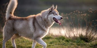 Everything you need to know about primitive dog breeds
