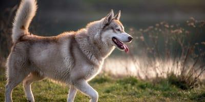 Husky dog primitive breed in the nature