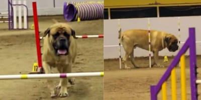 Mastiff on agility course