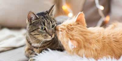 How should I introduce a new pet to my cat?