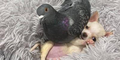 Taube Herman und Chihuahua Lundy