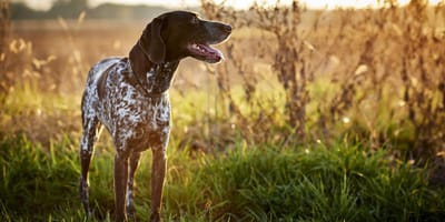 Pointer dog belonging to the gun dog type