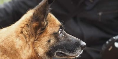 blind malinois looking into the distance