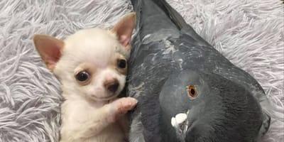 Pies_i_golab_przyjazn