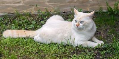 angora cat laying on grass