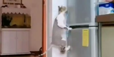 cats jump up on fridge