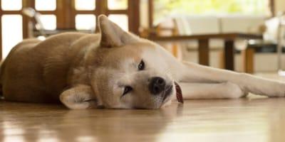 Matt  und müde? Schilddrüsenunterfunktion beim Hund