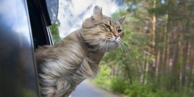 Viajar con tu gato en coche: ¡prepárate para todos los imprevistos!