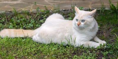 gatto-angora-bianco-con-occhi-azzurri