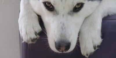 primo-piano-di-un-cane-bianco