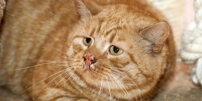 gato naranja gordo