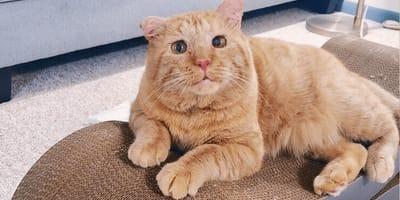 Zakaz trzymania zwierząt w wynajmowanym mieszkaniu: temu kocurkowi udało się go obejść!