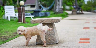 perro haciendo pipi ordenanza municipal limpieza orines caninos