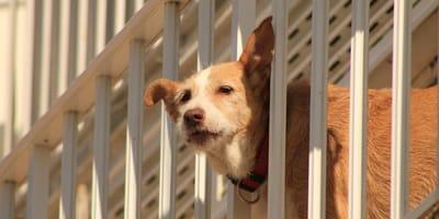Coronavirus: padroni in quarantena calano il cane dal balcone
