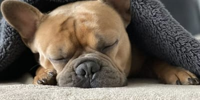 A squashed-face dog lies on a bed under a blanket