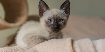 Kotka z niebieskimi oczami