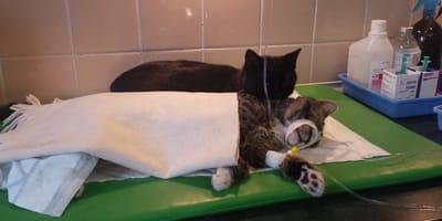 gatto-nero-sorveglia-animali-dopo-l-anestesia