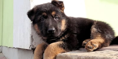 pastore-tedesco-cucciolo-sdraiato