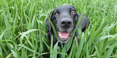 wonky-faced labrador laying in grass