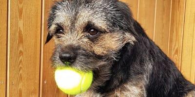 border-terrier-con-una-palla-da-tennis-in-bocca
