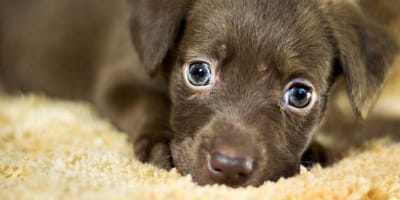 Small brown puppy stares into camera