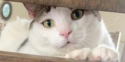 gatta-bianca-in-sovrappeso-che-guarda-attraverso-una-fessura