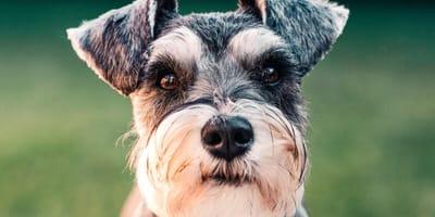 Grey schnauzer dog