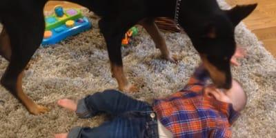 Mamá graba a su bebé en la alfombra cuando el dóberman de la casa aparece (Vídeo)