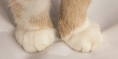 gato amasa con las patas