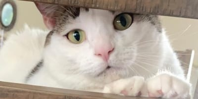 white and tabby cat looking through wooden bars