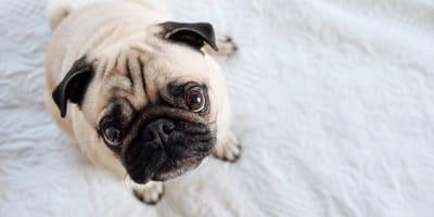 Imiona dla mopsa  - propozycje dla psów i suczek